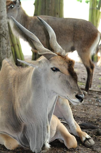 Taurotragus oryx photo