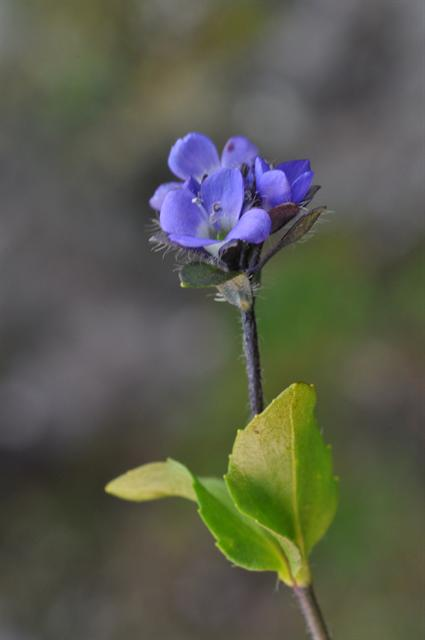 Véronique des alpes (Veronica alpina)