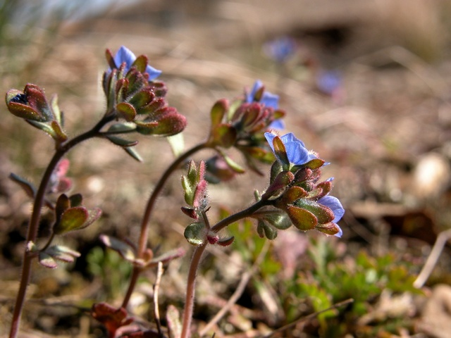 Veronica triphyllos photo