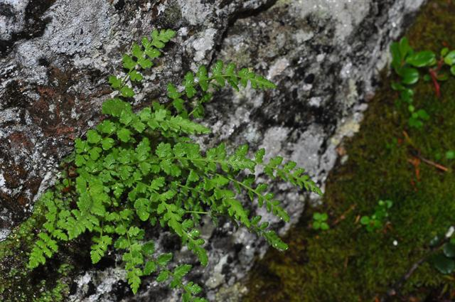 woodsie alpine (Woodsia alpina)