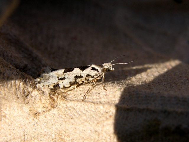 Ypsolopha sequella photo