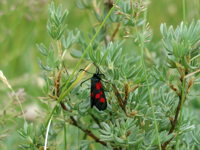 Zygaena trifolii photo