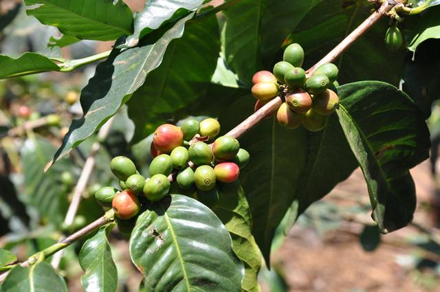 Coffea arabica photo