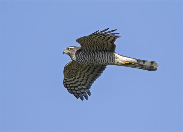 Epervier d´Europe (Accipiter nisus)