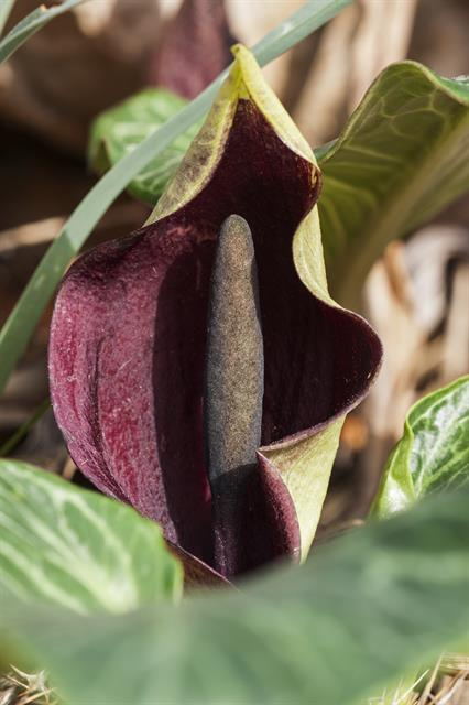 Arum pictum photo