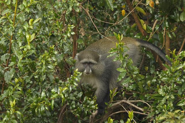 Cercopithecus mitis labiatus photo