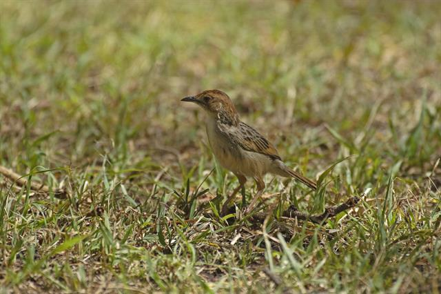 Cisticola marginatus photo