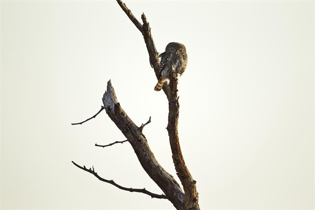 Glaucidium perlatum licua photo