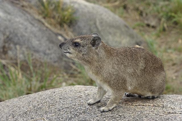 Heterohyrax brucei photo