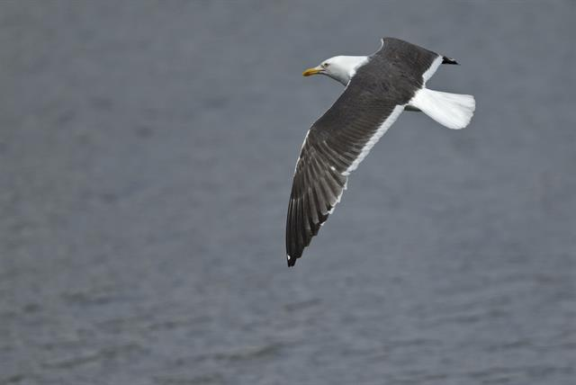 Larus fuscus ssp. intermedius photo