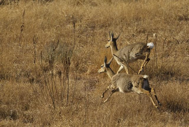 Pelea capreolus photo
