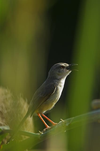 Prinia subflava photo