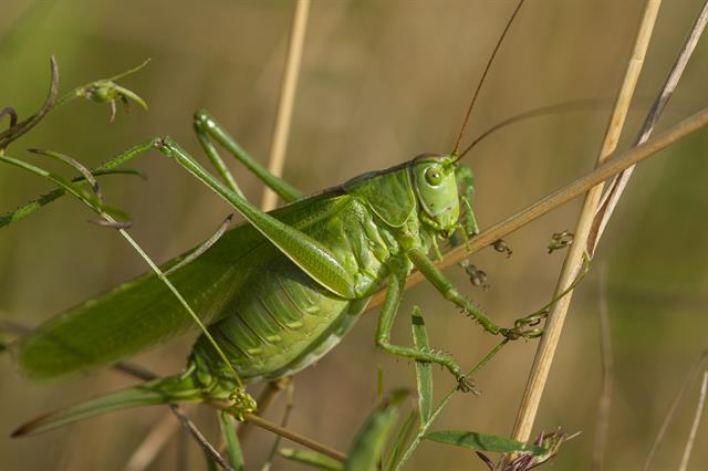 Tettigonia viridissima photo