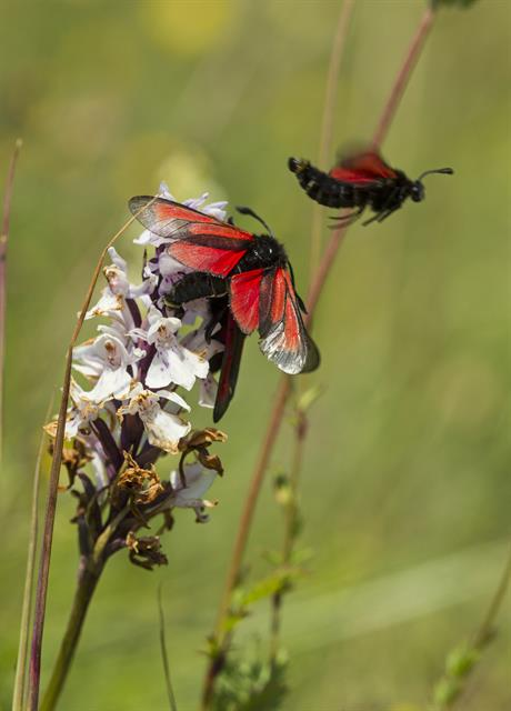 Zygaena purpuralis photo