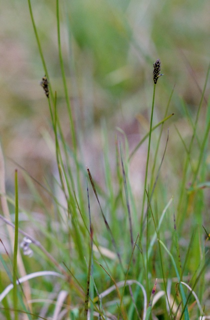 Laiche (Carex dioica) photo