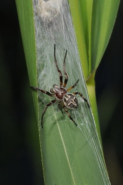 Larinioides cornutus photo