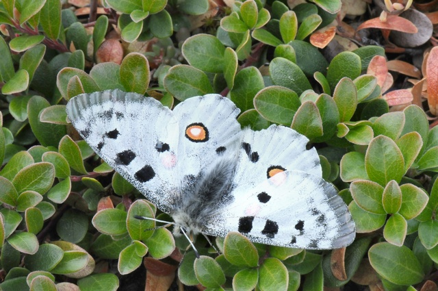 Le Grand Apollon (Parnassius apollo) photo