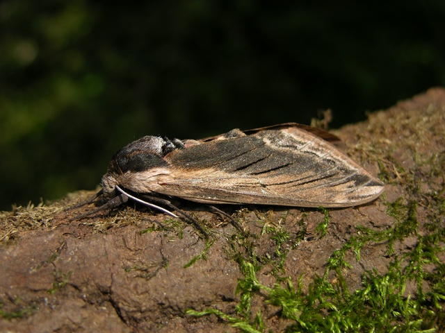 Le Sphinx du Troëne (Sphinx ligustri) photo