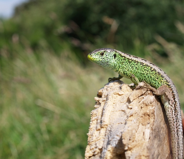 Lézard des souches (Lacerta agilis) photo
