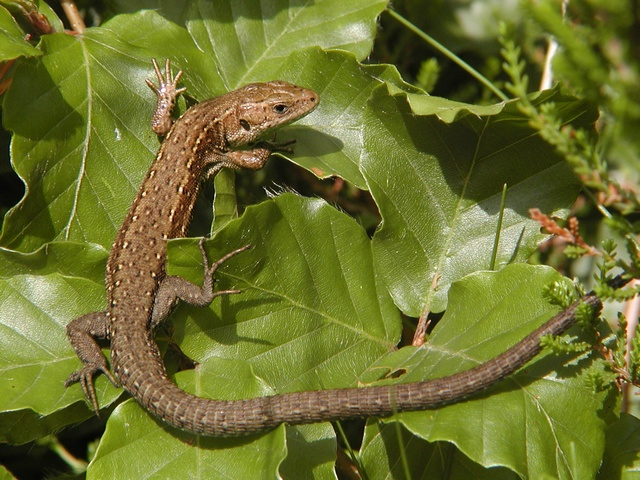Lézard vivipare (Lacerta vivipara) photo
