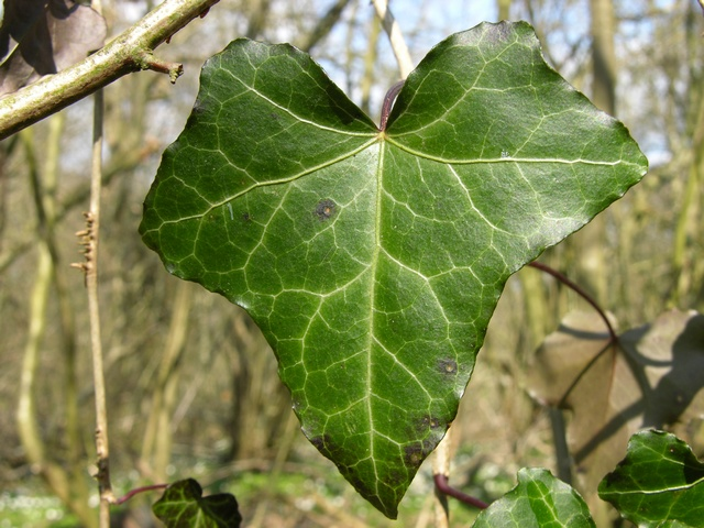 Lierre (Hedera helix) photo