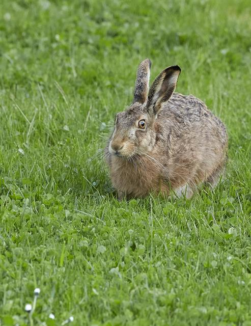 Lièvre d (Lepus europaeus) photo