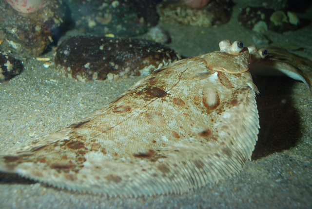 Limande sole (Microstomus kitt) photo