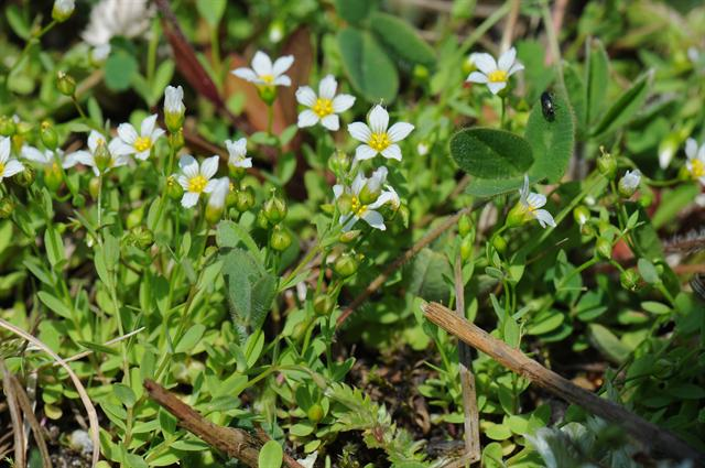 Lin purgatif (Linum catharticum) photo