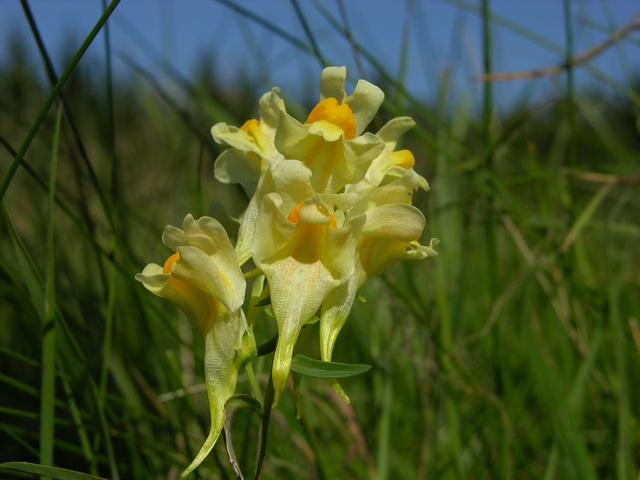 Linaire vulgaire (Linaria vulgaris) photo
