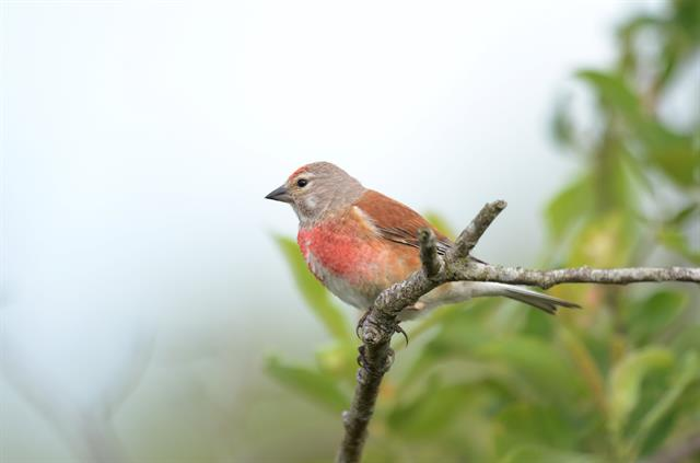 Linotte mélodieuse (Carduelis cannabina) photo