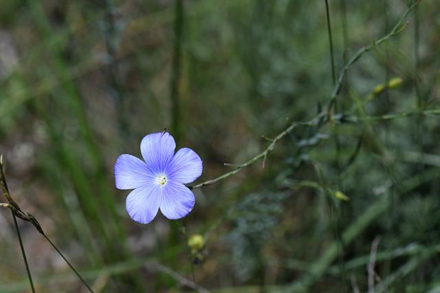 Linum sp. photo
