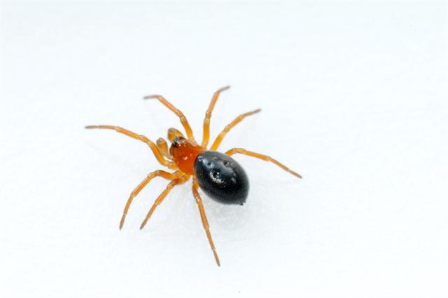 Linyphiidae sp. photo