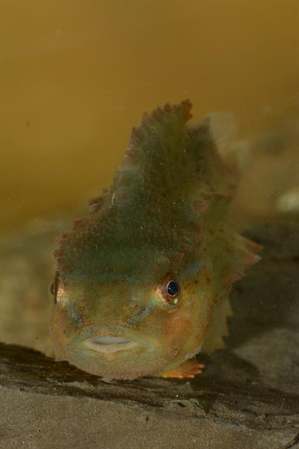 Lompe (Cyclopterus lumpus) photo