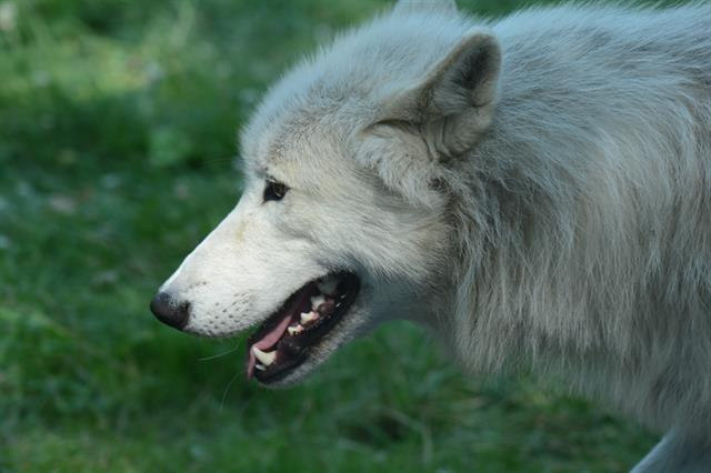 Loup arctique (Canis lupus arctos) photo