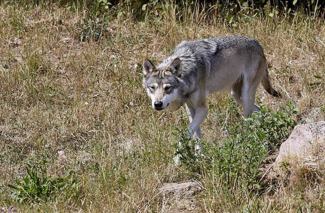 Loup (Canis lupus) photo