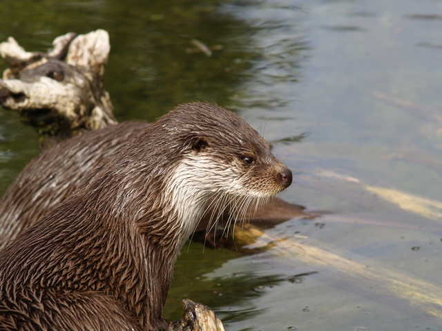 Loutre d Europe (Lutra lutra) photo