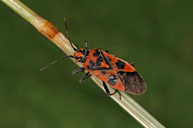 Corizus hyoscyami photo