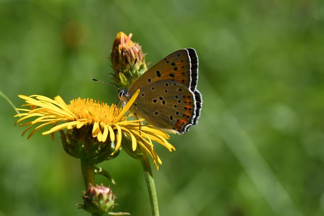 Lycaena alciphron photo