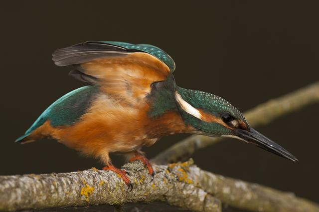 Martin pêcheur d'Europe (Alcedo atthis) photo