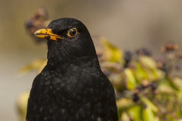 Merle noir (Turdus merula) photo