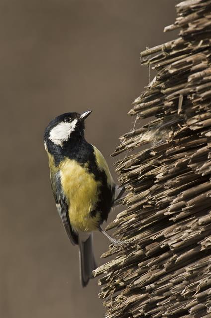 Mésange charbonnière (Parus major) photo