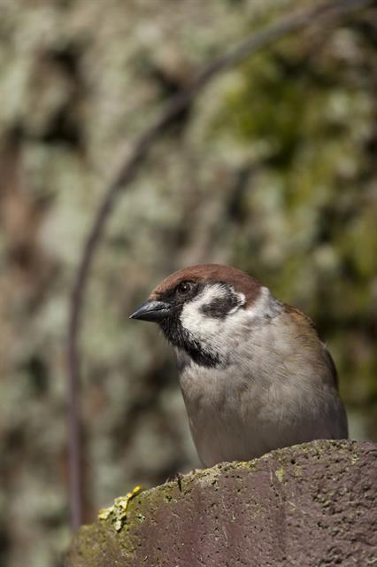 Moineau friquet (Passer montanus) photo