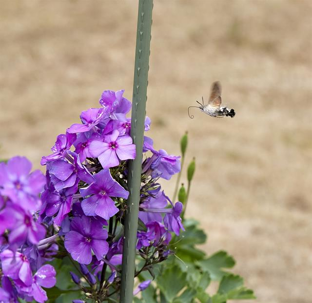 Moro sphinx (Macroglossum stellatarum) photo