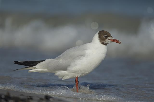 Mouette rieuse (Larus ridibundus) photo