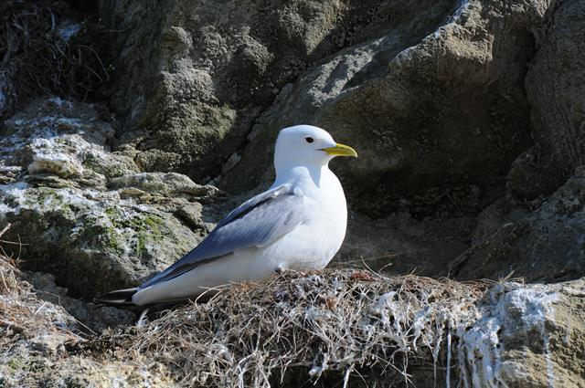 Mouette tridactyle (Rissa tridactyla) photo