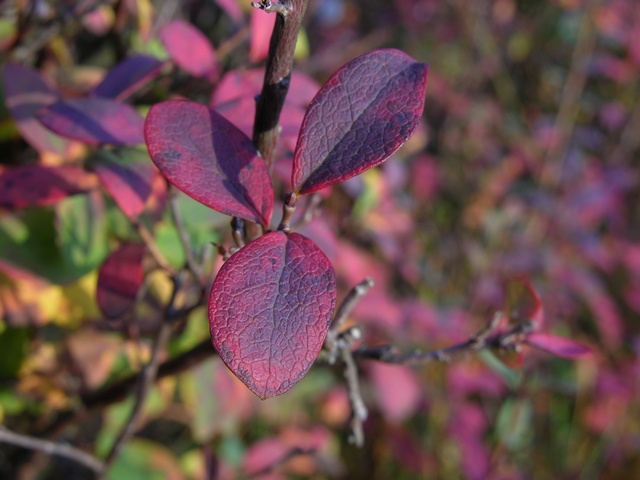 Myrtille des marais (Vaccinium uliginosum) photo