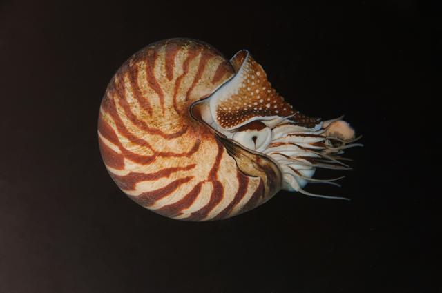 Nautilus pompilius photo