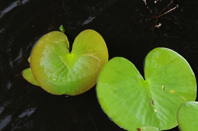 Nénuphar blanc (Nymphaea alba) photo