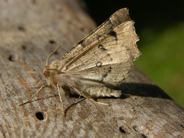 Odontopera bidentata photo