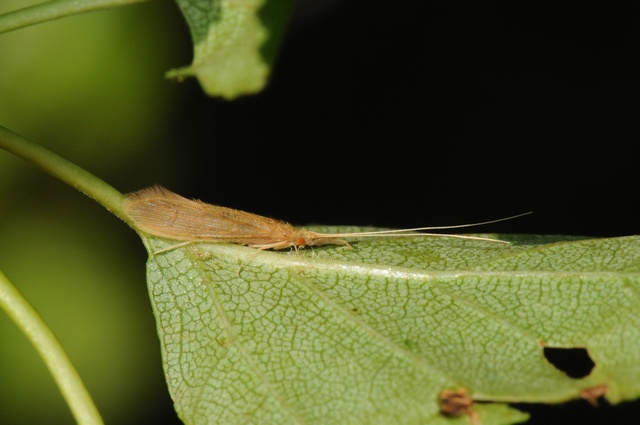 Oecetis testacea photo